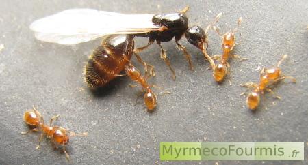 essaimage des fourmis solenopsis. Black Bedroom Furniture Sets. Home Design Ideas