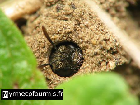 Fourmis et insectes poster un message - Abeille nid dans le sol ...