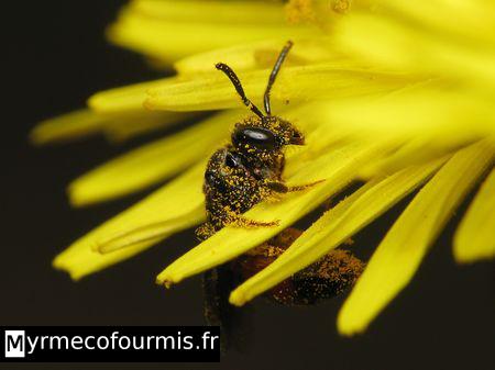abeilles solitaires. Black Bedroom Furniture Sets. Home Design Ideas