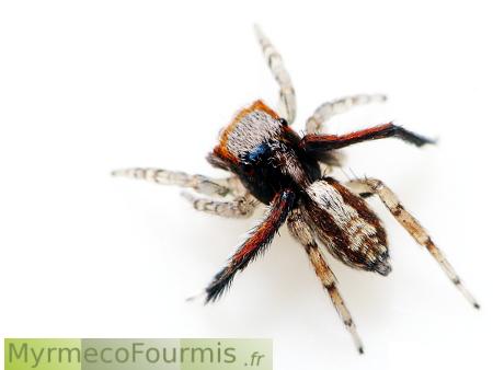un m le araign e aux yeux d 39 meraude. Black Bedroom Furniture Sets. Home Design Ideas