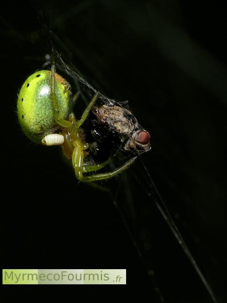 quel insecte mange les araignees # Insecte Qui Mange Le Bois