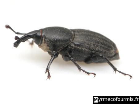 Capricorne insecte for Capricorne du chene traitement
