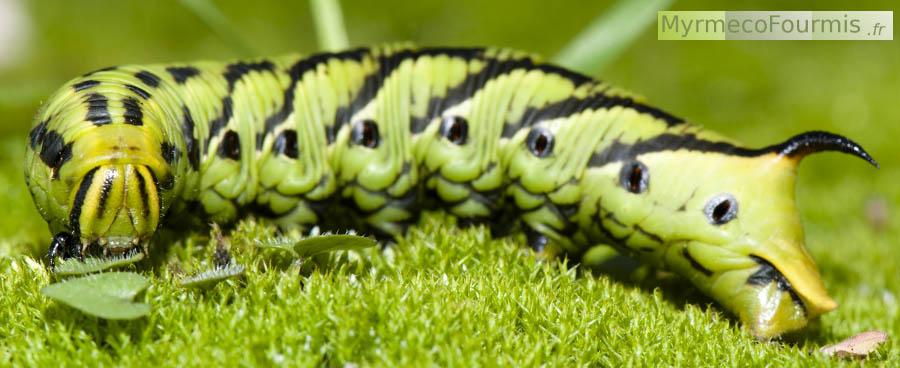 Papillons et chenilles de france - Chenille verte et noire ...