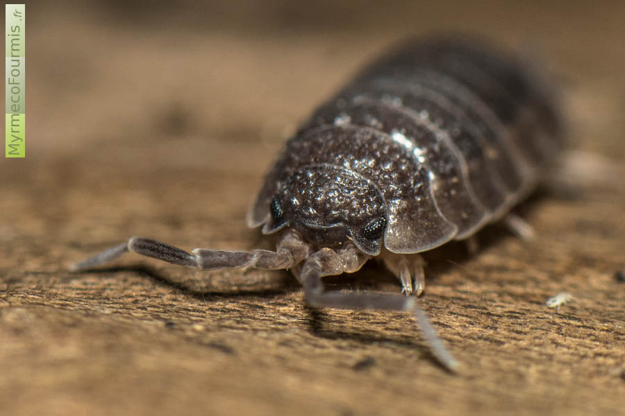 insecte qui mange le bois id e int ressante pour la conception de meubles en bois qui inspire. Black Bedroom Furniture Sets. Home Design Ideas