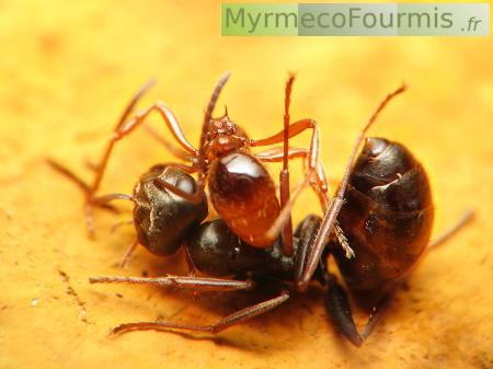 Combat entre fourmis - Fourmi rouge et tamanoir ...