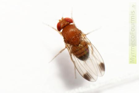 comment chasser les drosophiles de votre maison ?
