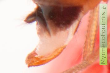 drosophila suzukii la drosophile des vergers une esp ce. Black Bedroom Furniture Sets. Home Design Ideas
