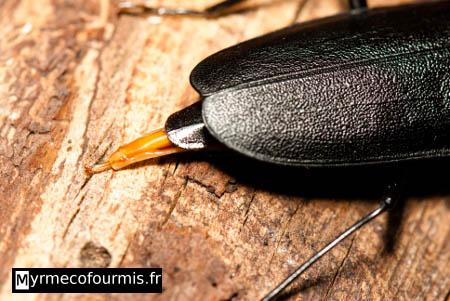 Capricorne et insectes col opt res longicornes for Insecte attaquant le bois