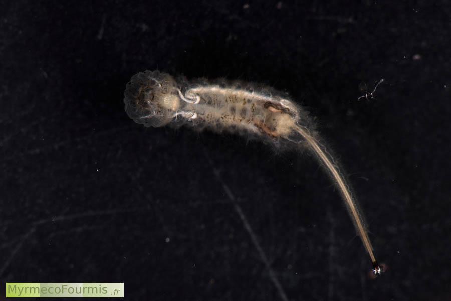 Les larves d 39 eristalis ont une queue de rat - Gros vers blancs dans le compost ...