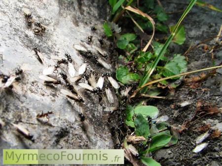 Envolée de fourmis ailées