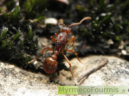 Reine fourmi désailée