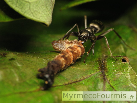 quel insecte mange les fourmis. Black Bedroom Furniture Sets. Home Design Ideas