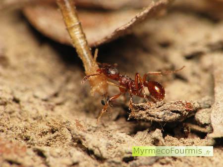 Que mangent les fourmis - Fourmi rouge et tamanoir ...
