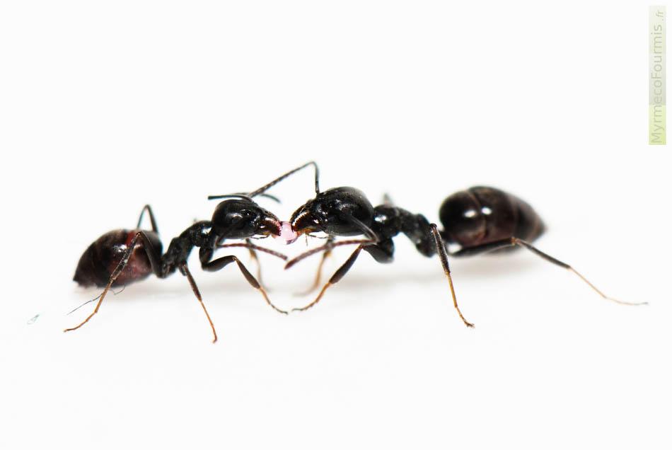probleme de fourmis dans la maison