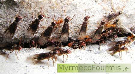 essaimage des fourmis lasius umbratus. Black Bedroom Furniture Sets. Home Design Ideas