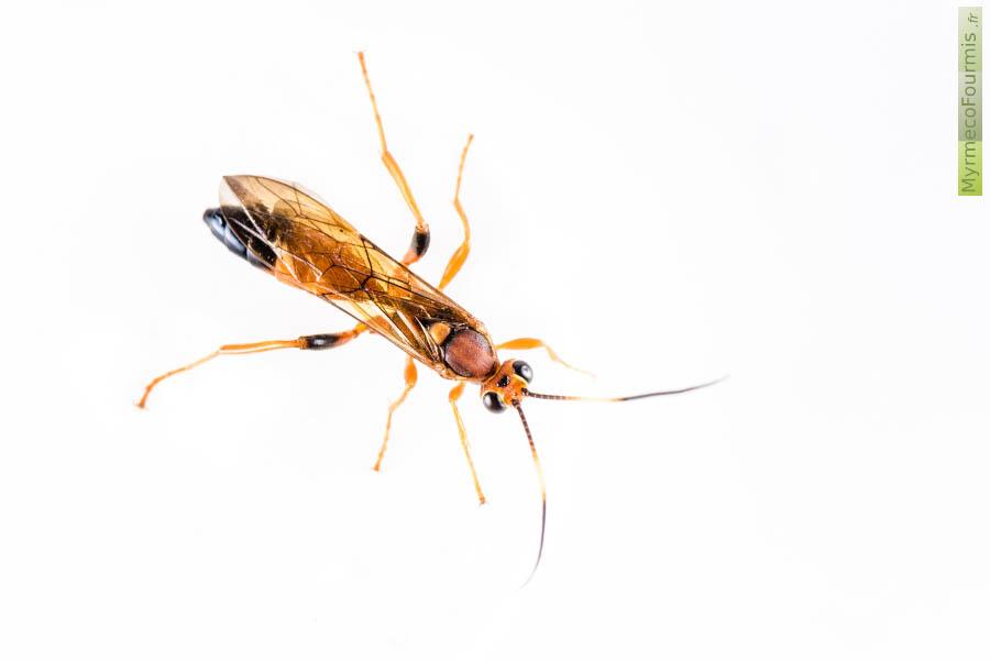 Les ichneumons famille des ichneumonidae - Insecte rouge et noir ...