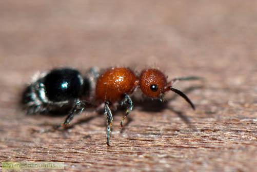 Les mutillidae ou fourmis de velours - Fourmi rouge et tamanoir ...