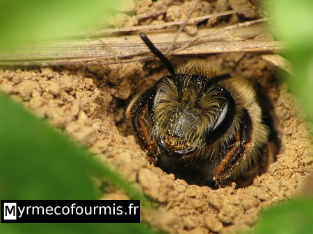 abeilles coucou du genre nomada. Black Bedroom Furniture Sets. Home Design Ideas
