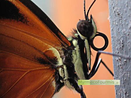 papillons exotiques. Black Bedroom Furniture Sets. Home Design Ideas