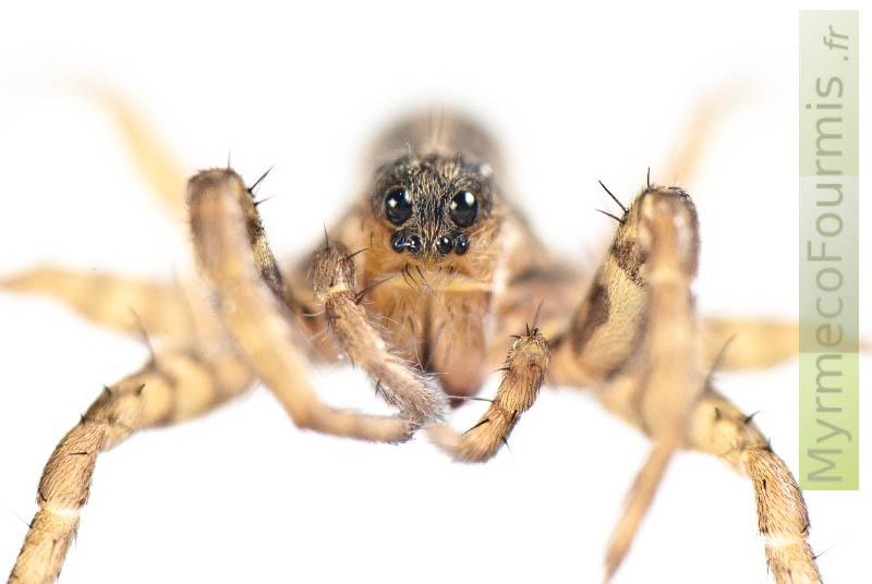 Lycosidae, Pardosa sp de face sur fond blanc