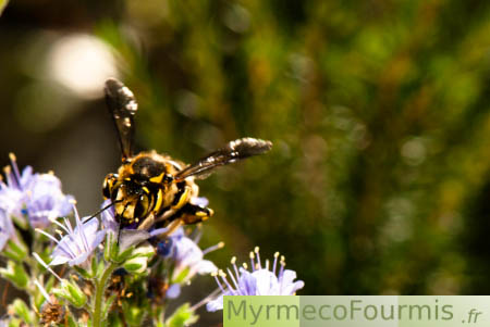 Anthidium sp sur Phacelia congesta