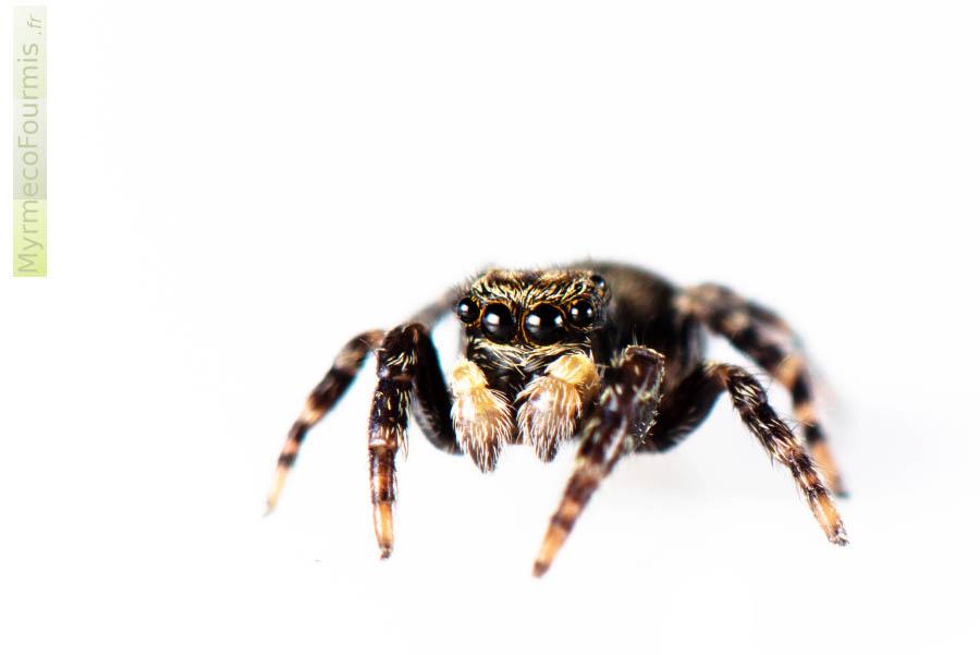 petites araignées jaunes