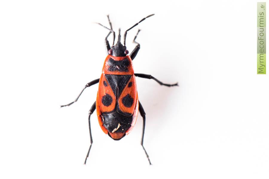 Gendarme Insecte # Insecte Qui Mange Le Bois