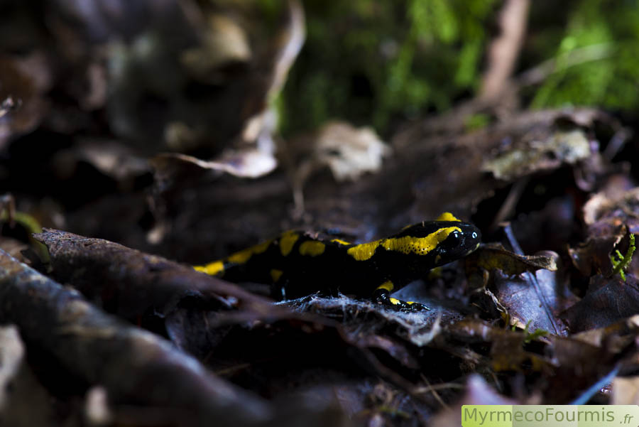 La salamandre tachetée, Salamandra salamandra