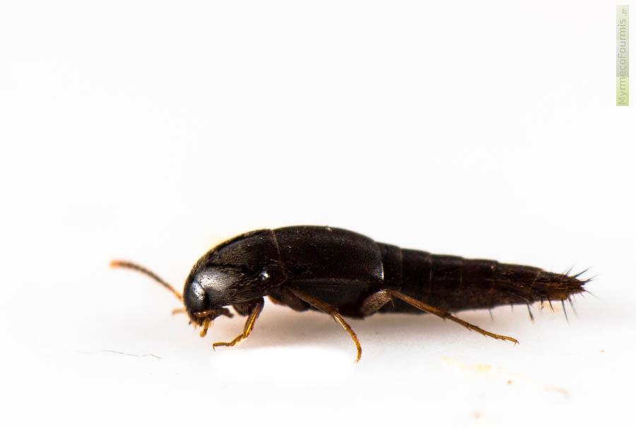 Staphylins sepedophilus et tachyporinae de petits - Insecte rouge et noir ...