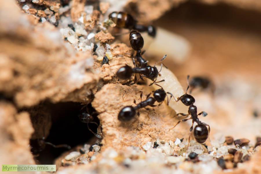fourmis des genres temnothorax et leptothorax. Black Bedroom Furniture Sets. Home Design Ideas