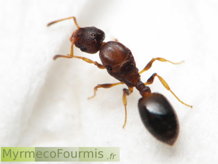 how to find temnothorax curvispinosus