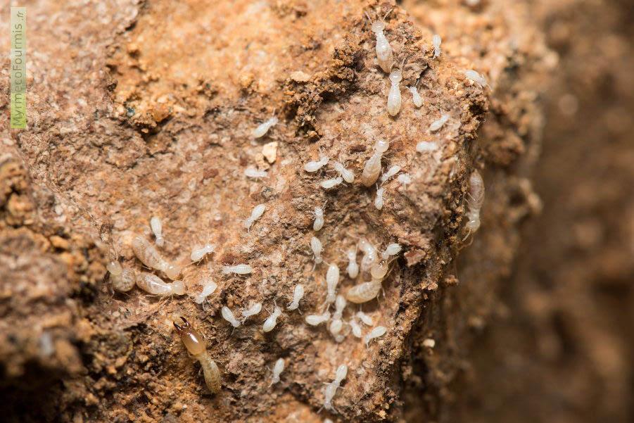 termites en france leur biologie et comment s en. Black Bedroom Furniture Sets. Home Design Ideas