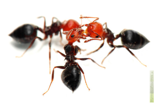 comment chasser des fourmis volantes